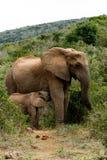 Mama I dziecko - afrykanina Bush słoń Obraz Royalty Free