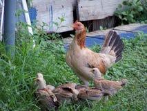 Mama i jej kurczątka Fotografia Royalty Free