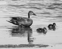 Mama kaczątka i kaczka Fotografia Royalty Free