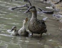 Mama kaczątka i mallard Obrazy Royalty Free