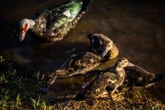 MAMA kaczka z dziećmi zdjęcia stock
