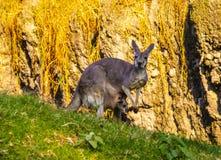 Mama kangur z jego dzieckiem zdjęcie royalty free