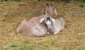 Mama and Kid Goat. A baby goat, called a kid, snuggling with its mother at a farm in Michigan Stock Photography