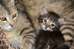 Mama kitty. A fluffy kitten and mama royalty free stock photography