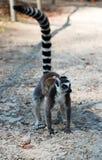 Mama lemur z dzieckiem na ona z powrotem chodzi na ziemi z nastroszonym ogonem Mamy i dziecka lemura ringowy ogoniasty spacer obrazy royalty free