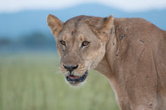 Mama lion. Old lioness staring at you with mountains and grasses behind, in Tanzania`s Serengeti plains Royalty Free Stock Photo