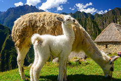 Mama Llama. A mother llama grazes as her young stands close by, never leaving her side on the terraces above Machu Picchu in Peru stock photography