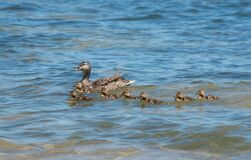 Mama Mallard And Seven Ducklings Swimming In Clear Water Royalty Free Stock Photo