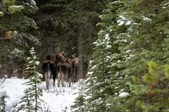 Free Mama Moose With Her Calf Alces Alces Standing In Snow In A Winter Forest In Jasper National Park, Alberta Stock Image - 203860961