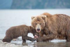 Mama niedźwiedź i jej lisiątka Zdjęcia Stock