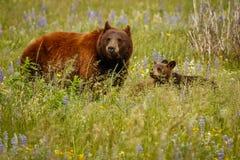 Mama niedźwiedź z jej lisiątkami w Waterton jeziorach NP, Kanada zdjęcia royalty free