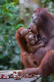 Mama orangutan with her baby sitting on a platform and eats ramb Royalty Free Stock Image
