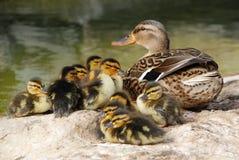 Mama Pato com os dez patos do bebê Fotos de Stock Royalty Free