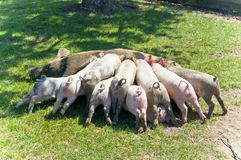 Mama pig feeding her piglets royalty free stock images