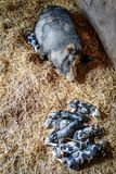 Mama Pig with her Piglets Sleeping. A mama pig with all of her newborn piglets sleeping on straw inside the barn royalty free stock images
