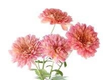 mama różowy Obraz Royalty Free