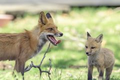 Mama Red Fox and Kit. A mama red fox and her kit standing on a lawn in Rhinebeck, NY Hudson Valley. This image was taken by Debbie Quick from Debs Creative stock image