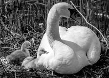 Mama swan. And her chicks royalty free stock image