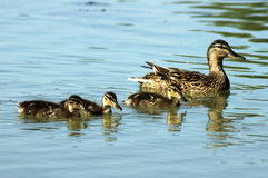 Mama and three kids. A duckmother with her three children Stock Photography