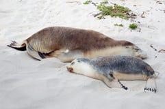 Mama-und Welpen-Seelöwen Stockbilder