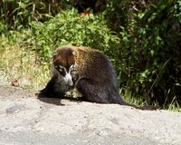 Mama White-Nosed Coatimundi Stock Photos