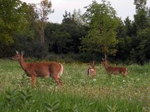 Mama White Tail deer with two fawns alert for danger stock photography