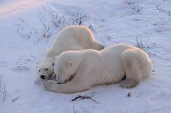 Mama y oso polar de Cub Imagen de archivo libre de regalías