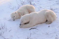 Mama y oso polar de Cub Fotografía de archivo libre de regalías