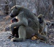 Mamaaffe mit ihren Babys Stockbild