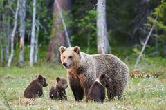 Mamabär Ursus arctos und ihre drei kleinen Welpen Lizenzfreies Stockbild