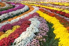 Mamachrysanthemen-Blumenteppich Stockfotografie