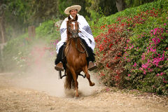 Peruvian Paso Horse demostration Stock Images