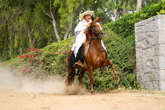 Peruvian Paso Horse demostration Stock Photo