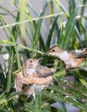 Maman alimentant son colibri de bébé Photos stock