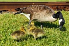 Maman canadienne d'oie pinçant l'herbe avec 3 bébés prenant un bain de soleil tout près Un poussin jette un coup d'oeil derrière  photos libres de droits