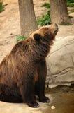 Maman d'ours observant ses fils Images libres de droits