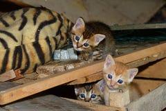 Maman de chat et petit chaton jouant dans le nid Images stock