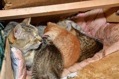 Maman de chat et petit chaton jouant dans le nid Images libres de droits