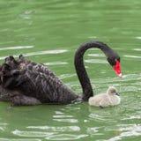 Maman de cygne noir et son bébé Image stock