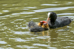Maman de foulque maroule américaine alimentant son bébé Photographie stock libre de droits