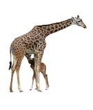 maman de giraffe de chéri Images stock
