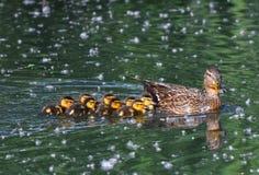 Maman de Mallard avec des poussins nageant Photo libre de droits