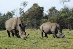 Maman de rhinocéros avec la chéri Photos stock