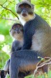 Maman de singe avec le bébé dans les bois Photos stock
