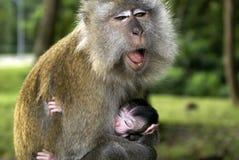 Maman de singe baîllant Photo stock