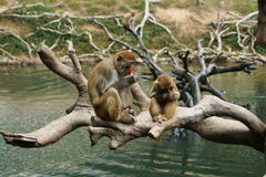 Maman de singe et bébé de singe Image libre de droits