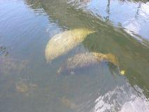 Maman et bébé de lamantin dans le canal Image libre de droits