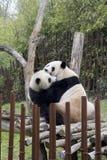 Maman et bébé de panda Photos libres de droits