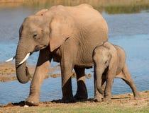 Maman et chéri d'éléphant africain Photos stock