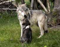 Maman et chiot de loup Images stock